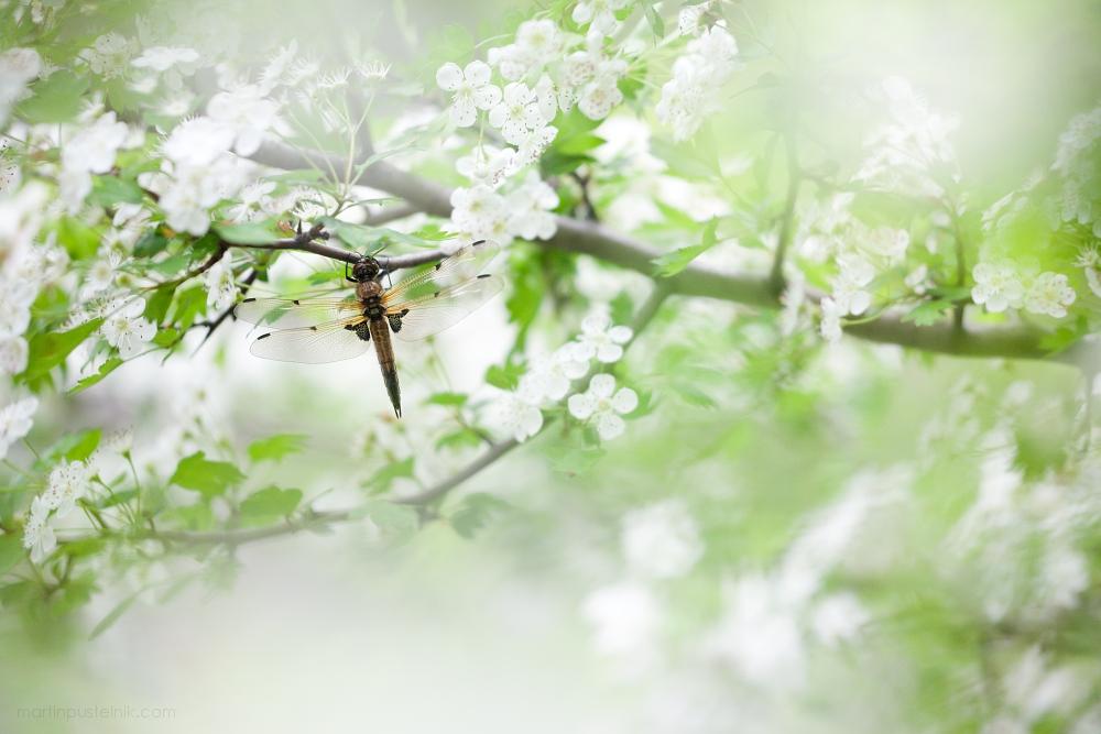 libellula-quadrimaculata-16-1000